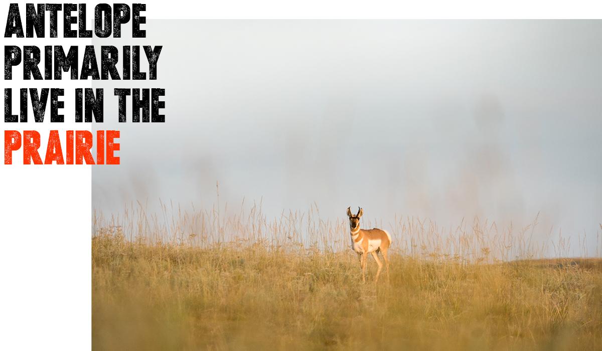 Antelope in prairie.