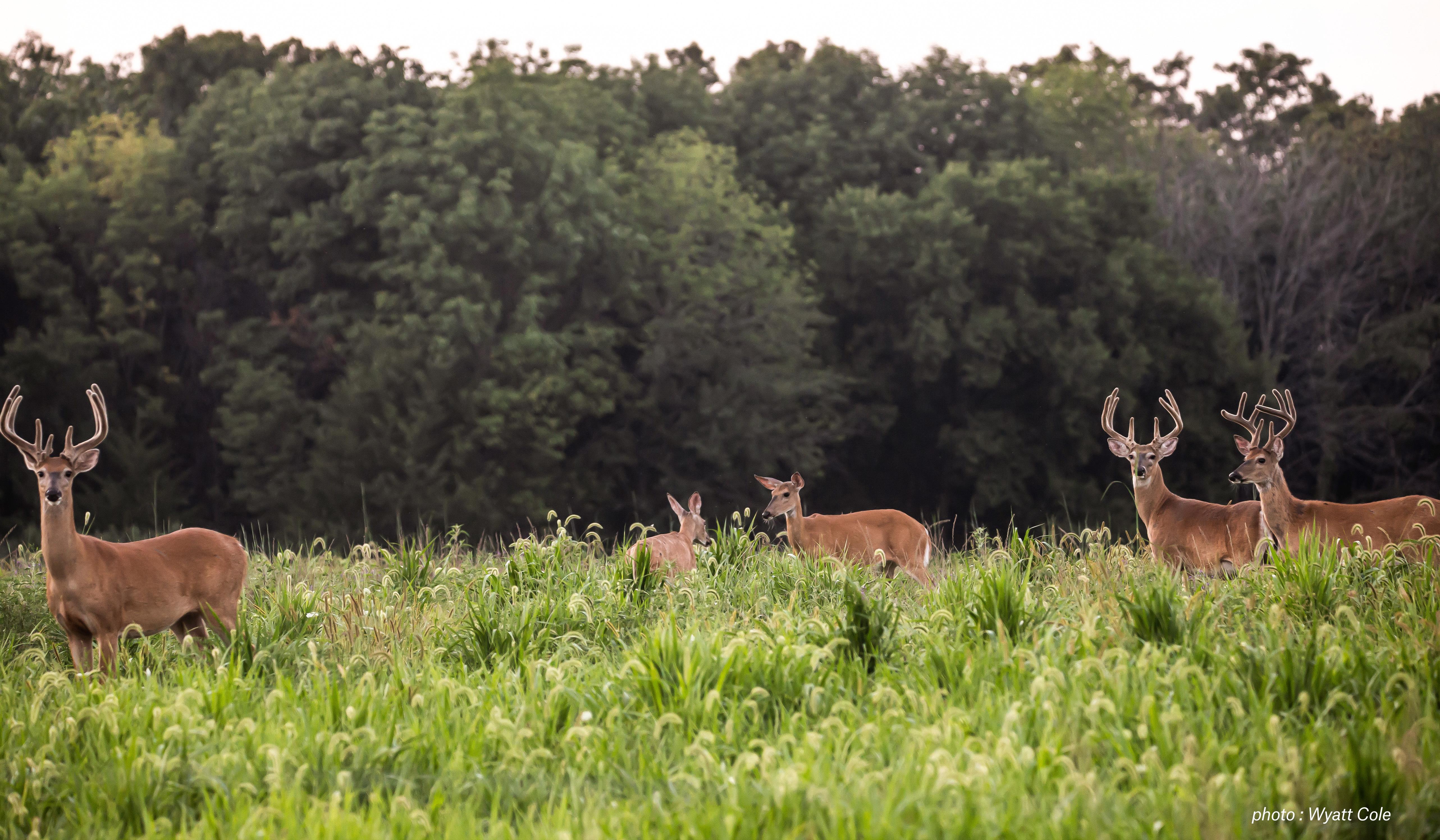 Deer in a field.