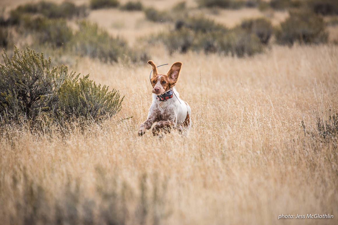 A Brittany dog runs through fields of grass and sage while upland bird hunting in eastern Montana.