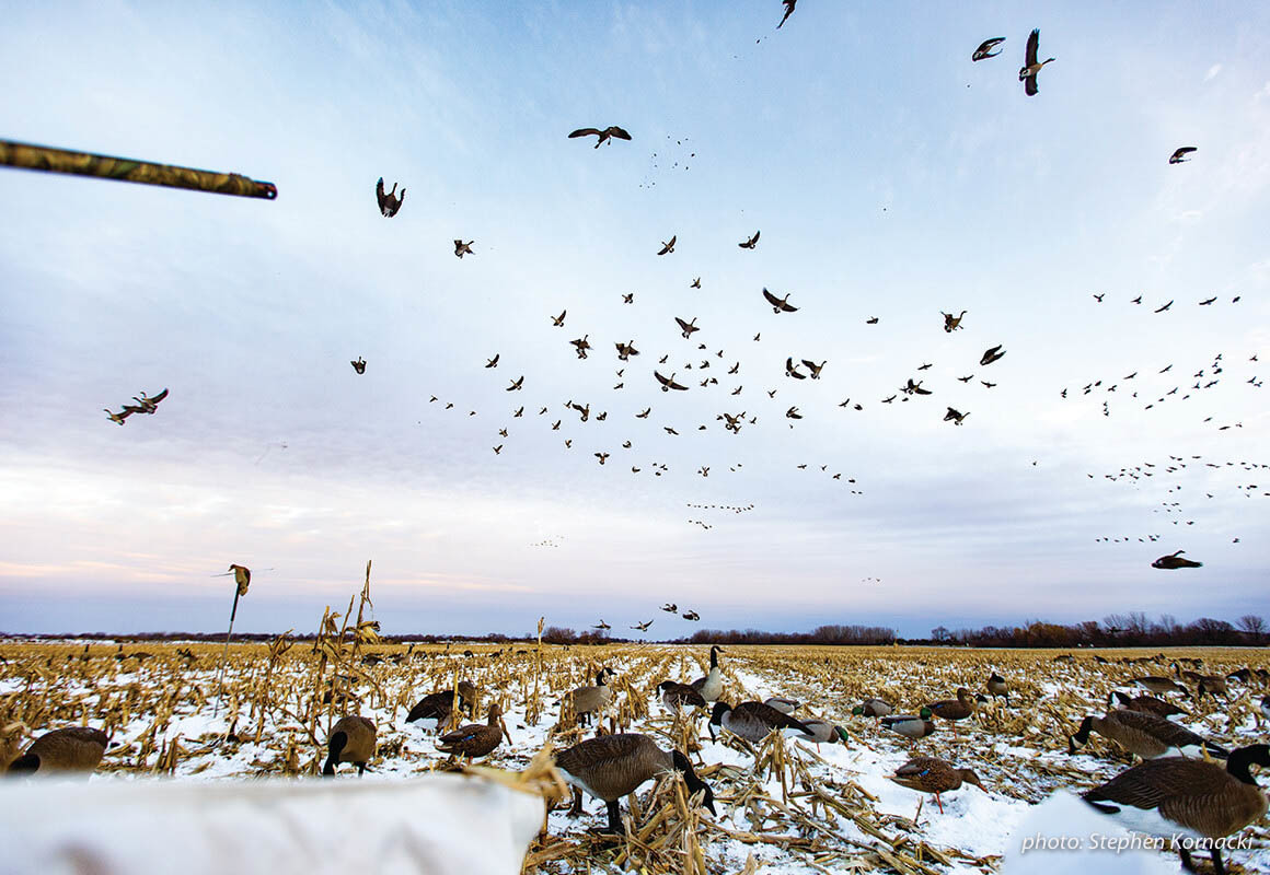 Hunting geese in a field over decoys.