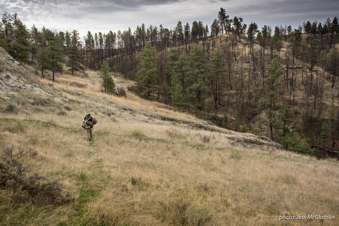 Hunter hiking out through recent wildfire burn with a turkey on his shoulder in Montana.