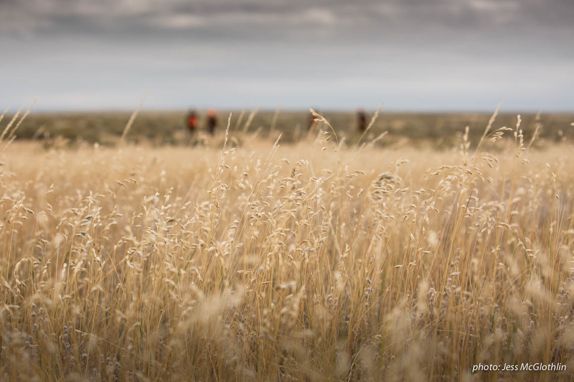 Grass in a field in Montana with men upland game hunting in the background during sotrmy fall day.