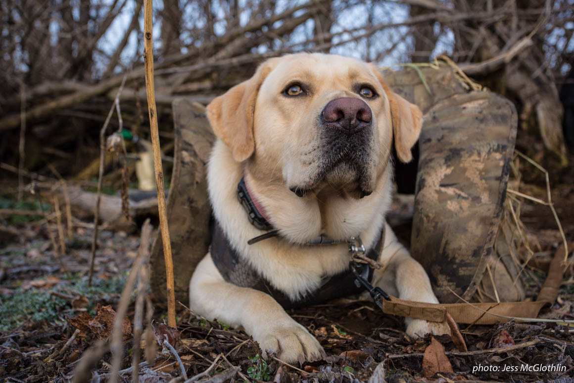 Yellow lab waiting in a dog blind while hunting geese.