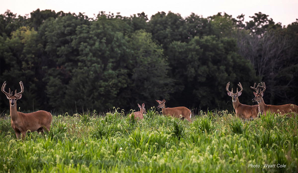 Whitetail deer browse a field.