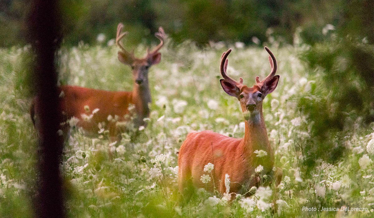 Two whitetail bucks in a field.