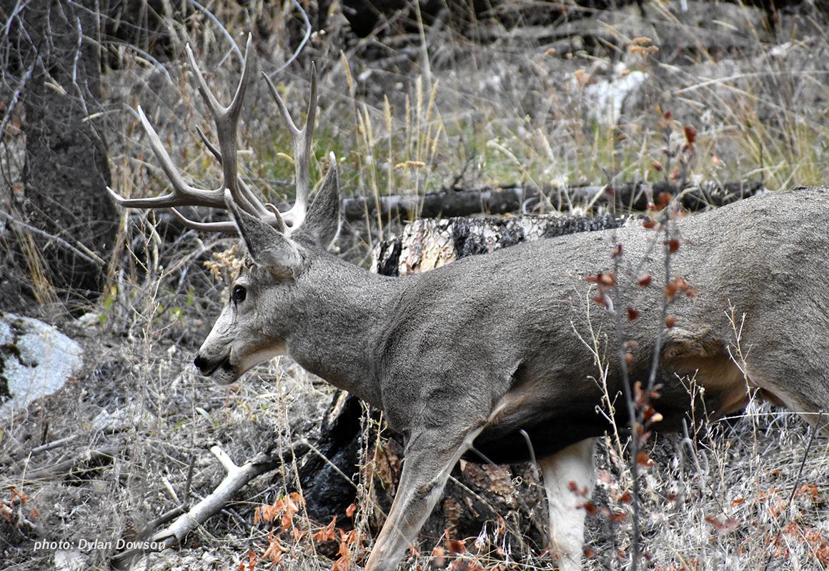 onx-cwd-blog-mule-deer_181228_104245.jpg?mtime=20181228104245#asset:58980