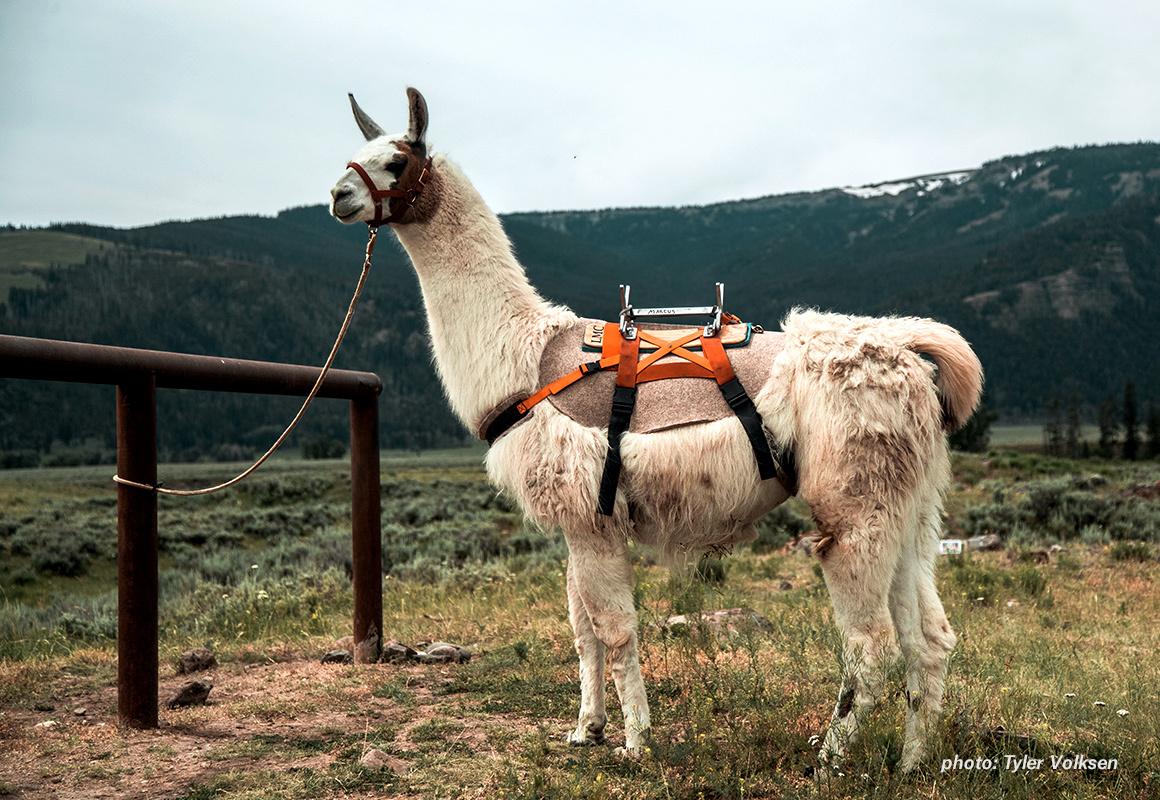 Marcus, the public land pack llama