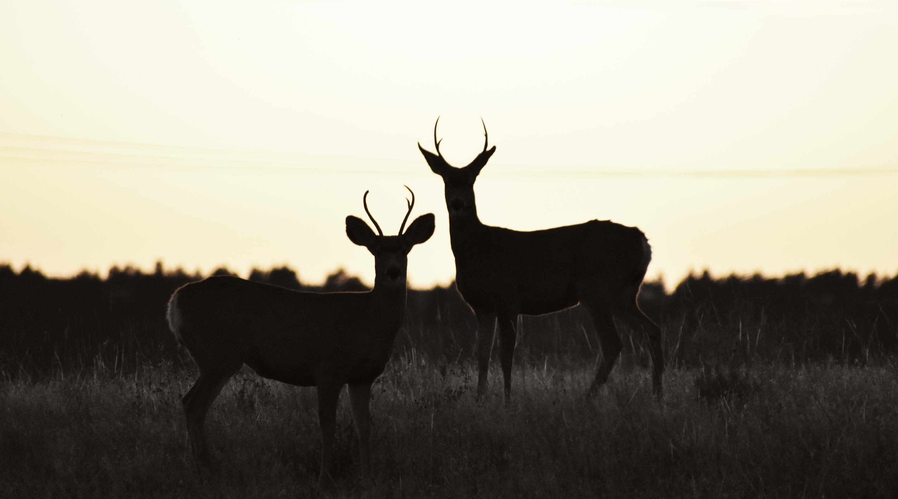 Whitetail deer at sunset